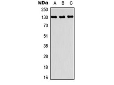 PRDM10 antibody