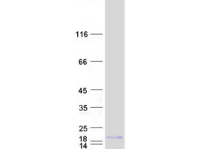 SPRR2A (NM_005988) Human Recombinant Protein
