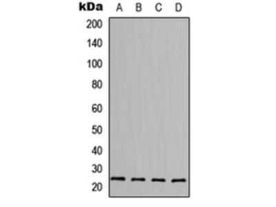 FGF6 antibody