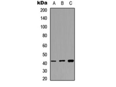 MAS1L antibody