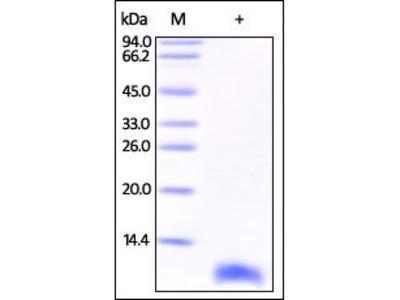 Human S100B protein