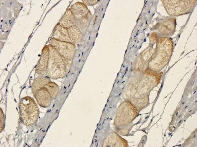 HMGCR (phospho-Ser872) antibody