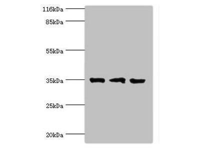 effector Noc2 antibody