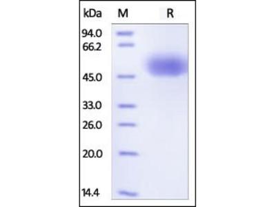 Human SIRP alpha protein
