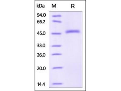 Human Serpin E2 protein