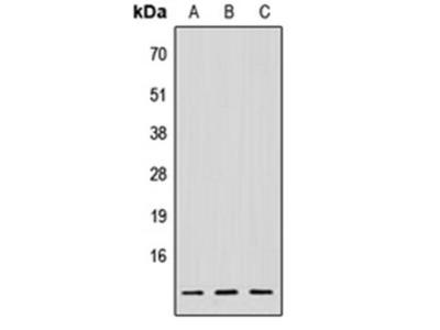 NDUFV3 antibody