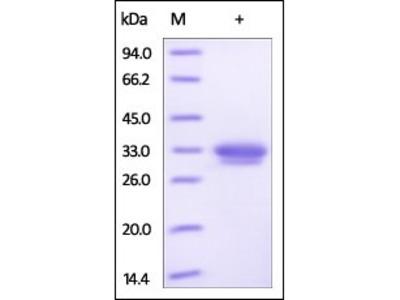 Human Activin RIIA protein