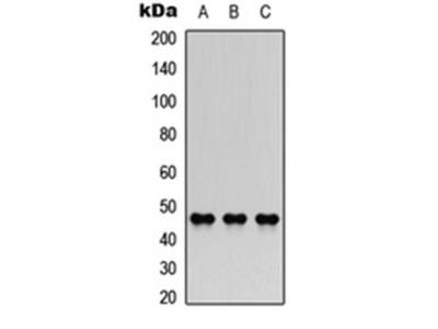 AChE Q antibody