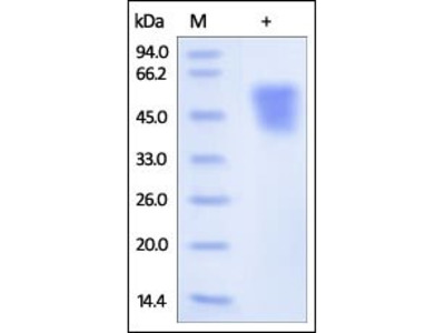 Human ICAM-2 protein