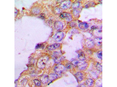 COX5B antibody