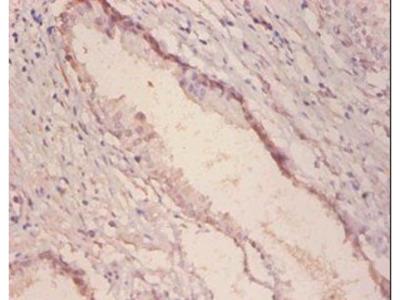 alpha-Galactosidase A antibody (Biotin)