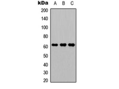 CD224 HC antibody