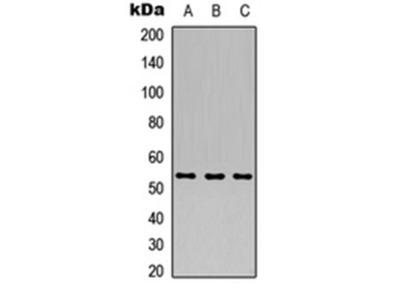 ARHGEF9 antibody