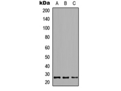 CRIF1 antibody