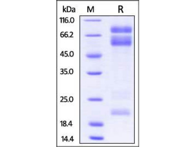 Mouse ADAM17 protein