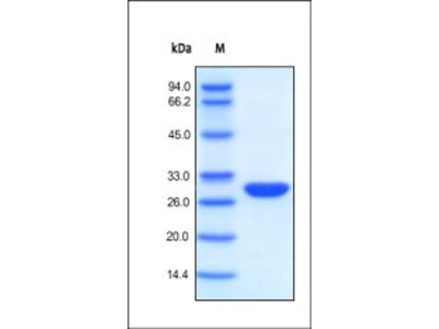 BenzNuclease protein