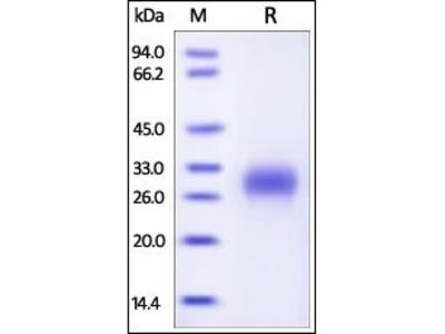 Human PLGF protein
