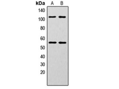 NF-kappaB p105/p50 (phospho-S337) antibody