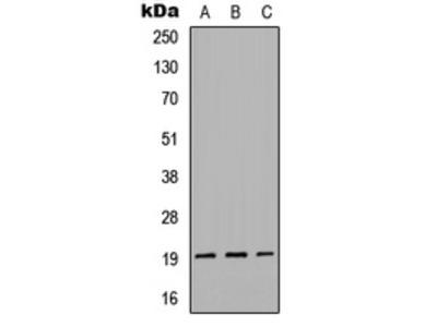 GREM2 / Gremlin 2 Polyclonal Antibody