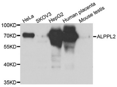 ALPPL2 Antibody