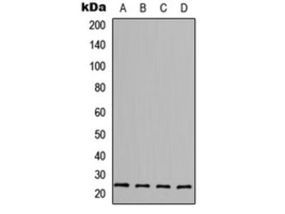 FGF6 Polyclonal Antibody
