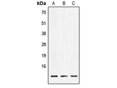 LSM2 / SnRNP Antibody
