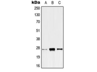 ANP32C Antibody