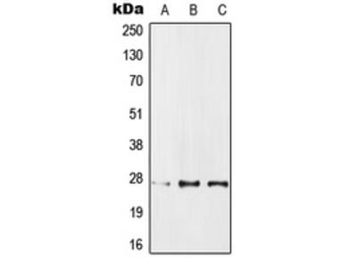 PPP1R1A / IPP1 Antibody