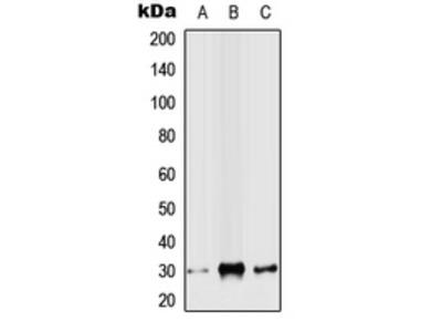 SNAI2 / SLUG Antibody