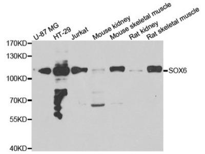 SOX6 Antibody