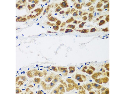 NAT15 Antibody