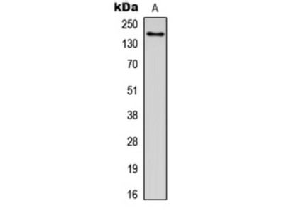 ADGRL1 / LPHN1 Antibody