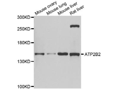 ATP2B2 / PMCA2 Antibody