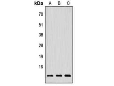 NRG4 Polyclonal Antibody