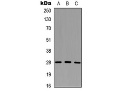 GZMM / Granzyme M Antibody