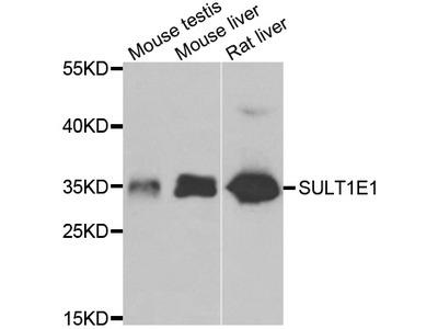 SULT1E1 / Sulfotransferase 1E1 Polyclonal Antibody