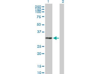 THAP3 Antibody