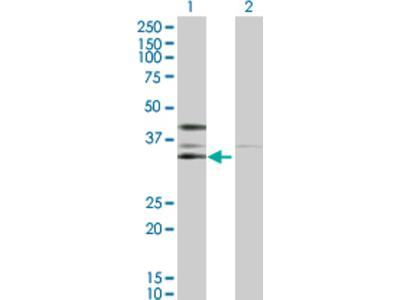CKII alpha prime polypeptide Antibody