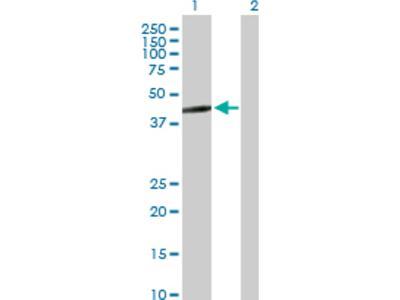 GTP binding protein era homolog Antibody