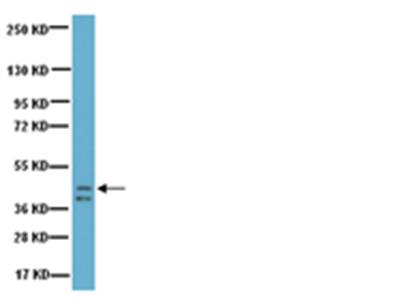 Anti-Growth Associated Protein-43 (GAP-43) Antibody