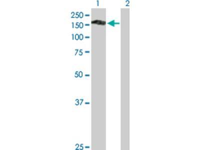 Puratrophin-1 Antibody