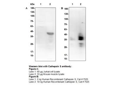 Cathepsin S Antibody