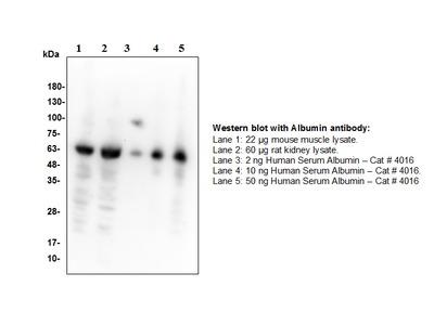 Human Serum Albumin Antibody