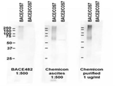 Anti-BACE Antibody, CT, clone 61-3E7