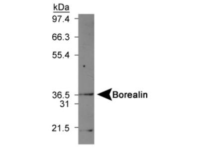 Rabbit Polyclonal Borealin Antibody