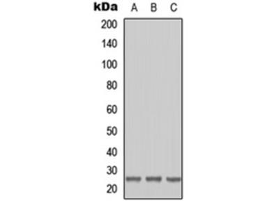RAB41 antibody