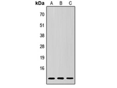 SUMO3 antibody