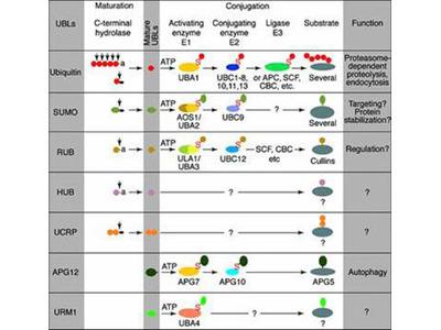 UBE2J2 Antibody