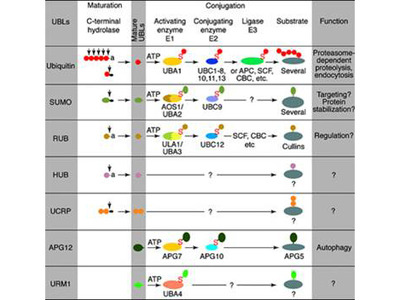 UBE2J1 Antibody