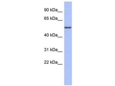 anti-alpha Tubulin-4B (TUBA-4B) (Middle Region) antibody